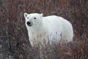 polar-bear-3775936_640-300x200 FAIReconomicsNewsletter KW07/19NACHRICHTEN: Klimaziel 2020 gerissen, Northstream II, Netzausbau, Tierwohllabel, Lebensmittelampel, Munition im Meer, Neues aus den Bundestagsausschüssen Newsletter