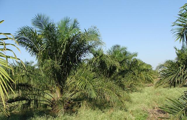 oil-palm-287878_640 FAIReconomicsNewsletter KW 48NACHRICHTEN: Energiewende in Gefahr, Bundesbank sieht Klimarisiken, Grüner Gesetzentwurf, Lachgas, Palmölbann, Neues aus dem Bundestag Newsletter