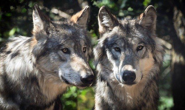 wolf-2984865_640 FAIReconomicsNewsletter Week 05/20 Newsletter
