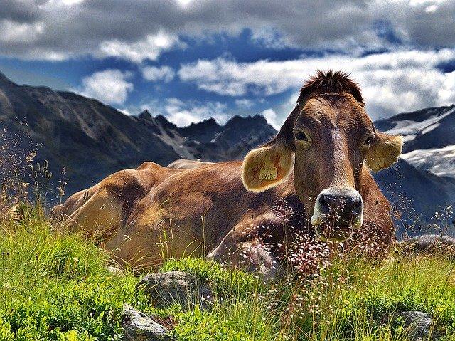 cow-1287866_640 FAIReconomicsNewsletter Week 28/2020        Newsletter